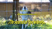 The sound of the wolves