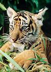Manuel Ortega kämpft für die Tiger