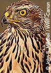 Stopp den Abschuss geschützter Greifvögel in Niederösterreich!